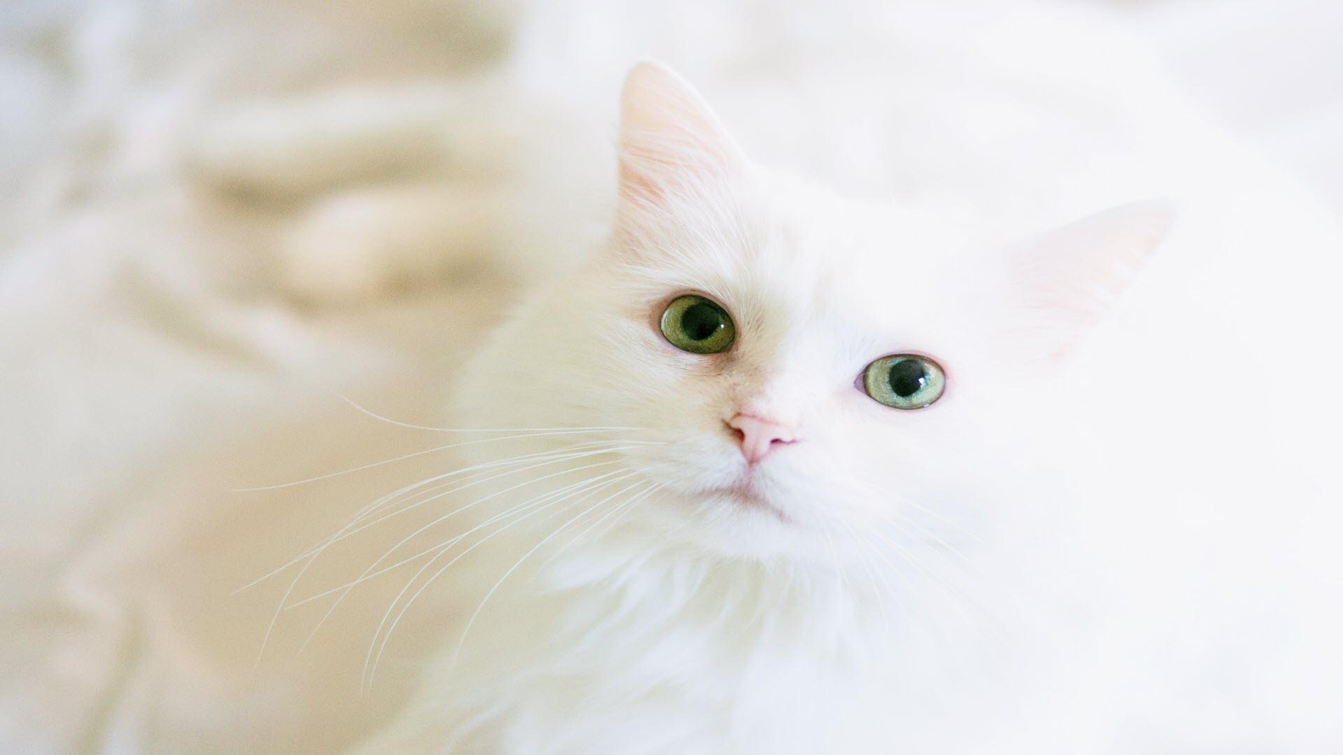 Hình nền mèo trắng