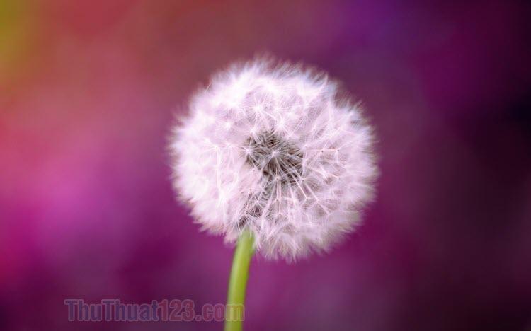 Hình ảnh hoa Bồ Công Anh đẹp