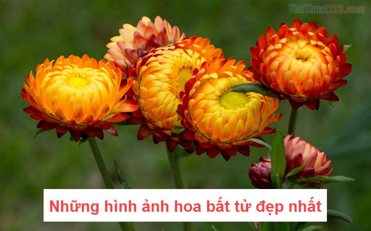 Hình ảnh hoa Bất Tử đẹp
