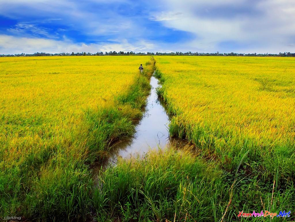 Ảnh cánh đồng lúa chín đẹp nhất