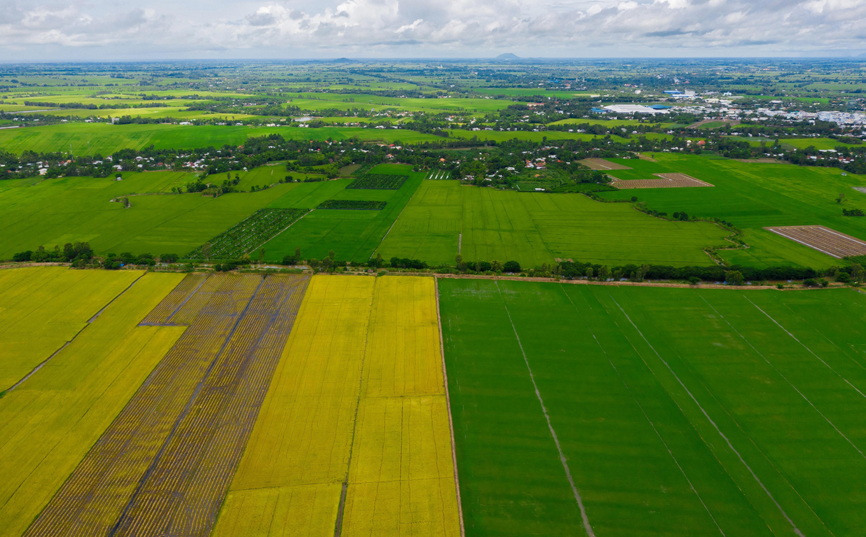 Ảnh cánh đồng lúa chín vàng