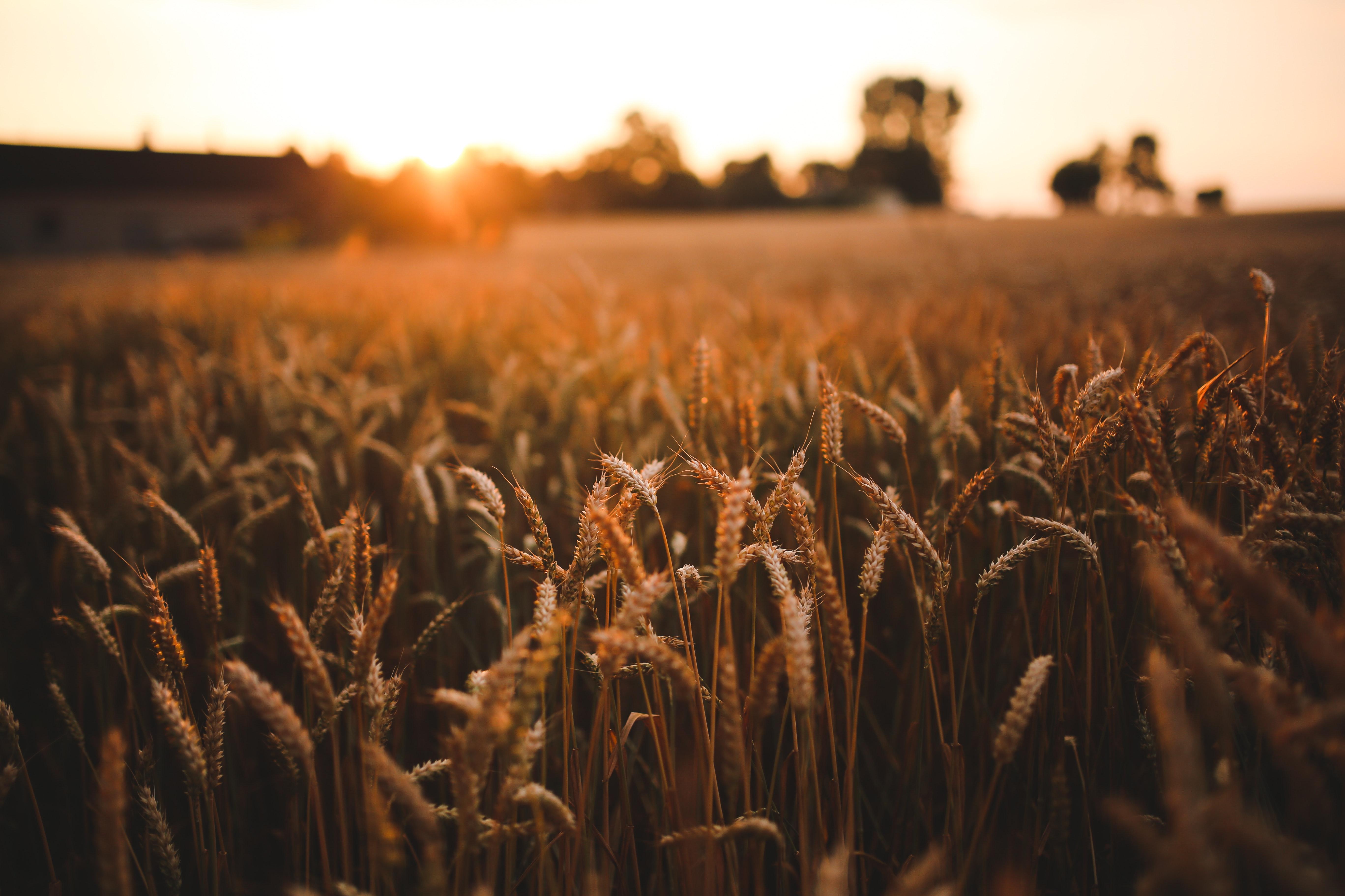 Ảnh cánh đồng lúa vàng chín cực đẹp