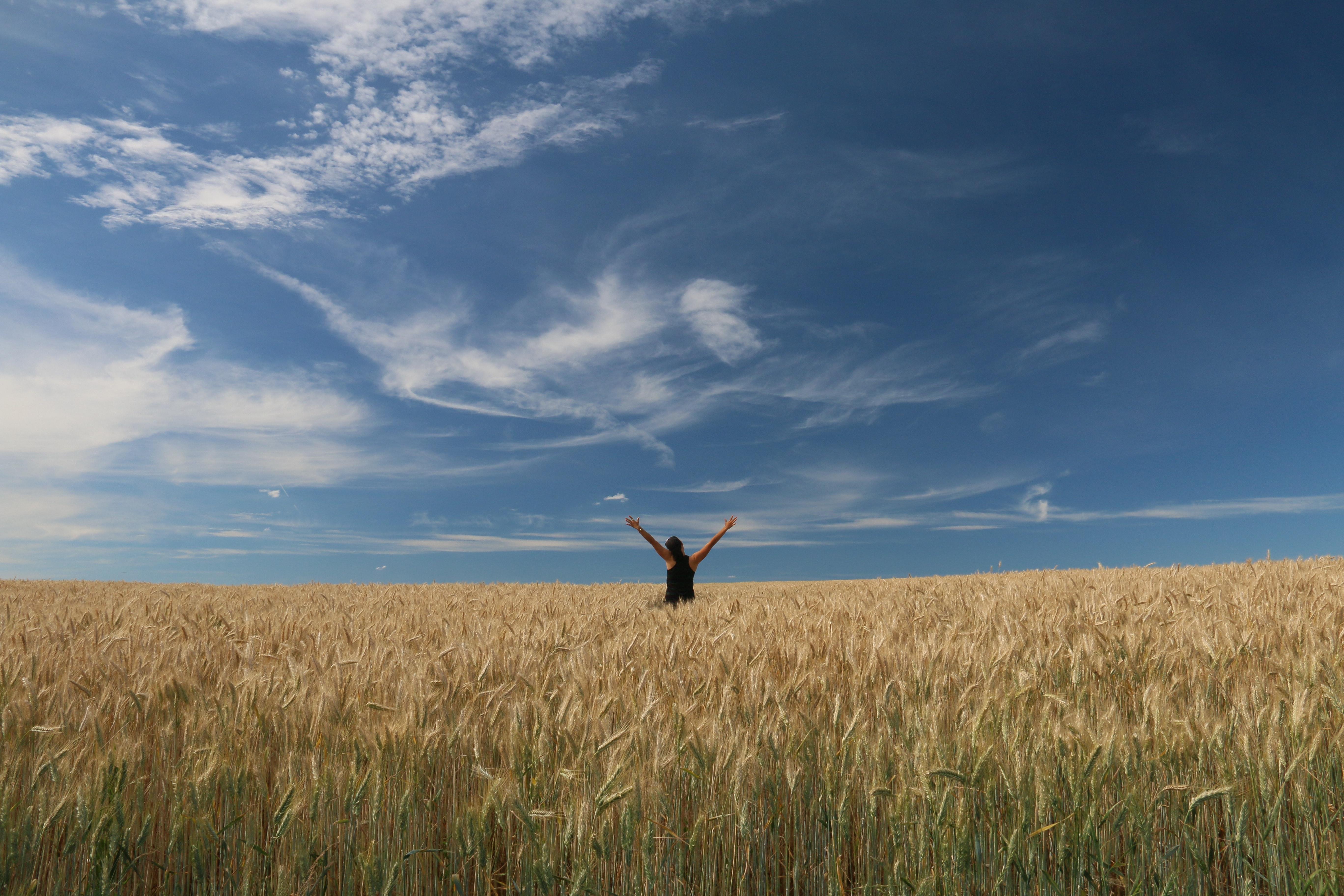 Ảnh cánh đồng lúa vàng