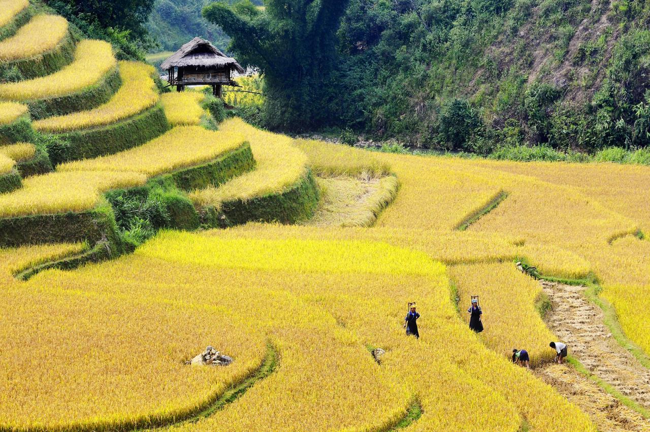 Cánh đồng lúa bậc thang vàng đẹp nhất Việt Nam