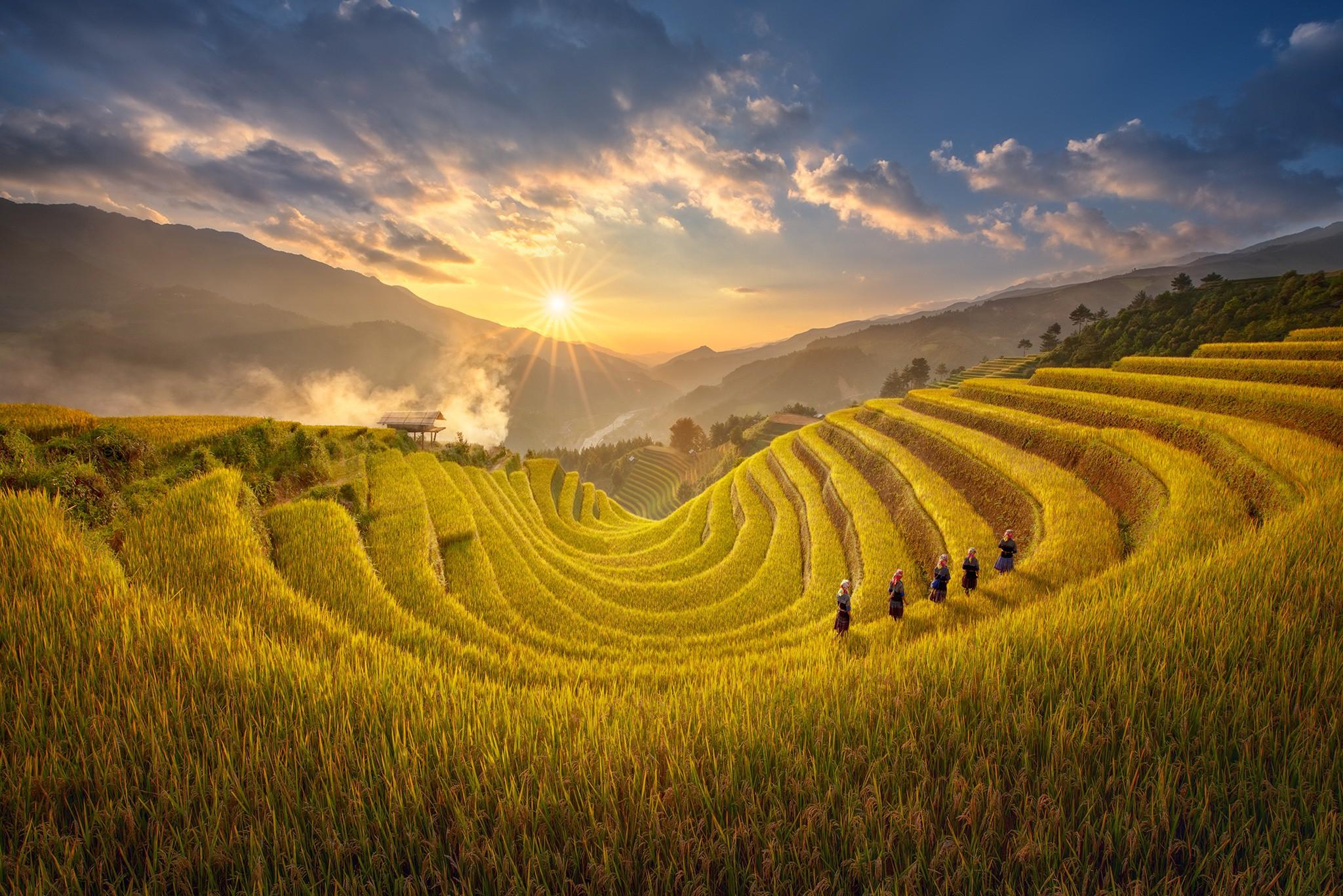 Cánh đồng lúa chín vàng cực đẹp