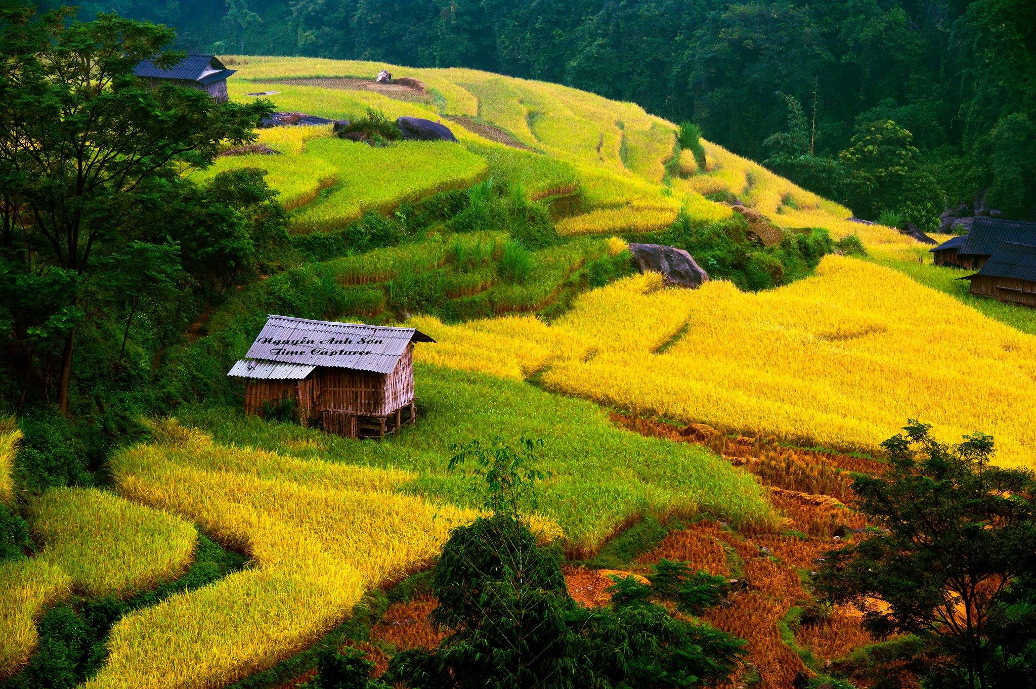 Cánh đồng lúa vàng đẹp