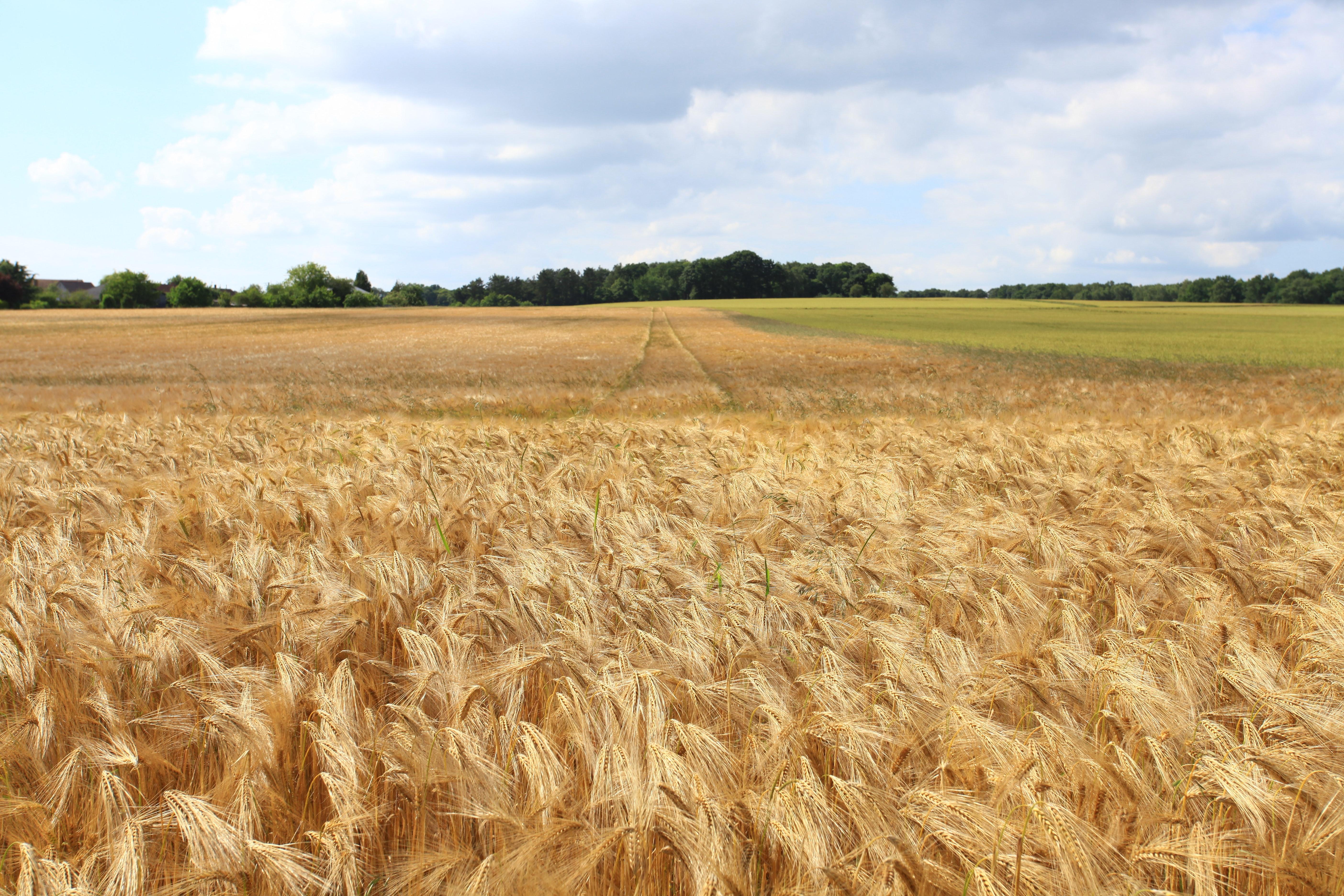 Hình ảnh cánh đồng lúa chín vàng đẹp