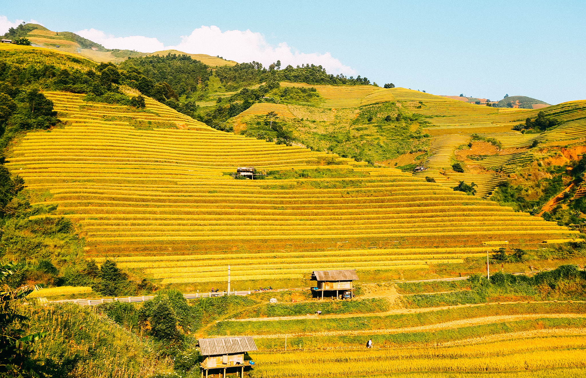 Hình ảnh cánh đồng lúa vàng óng đẹp nhất