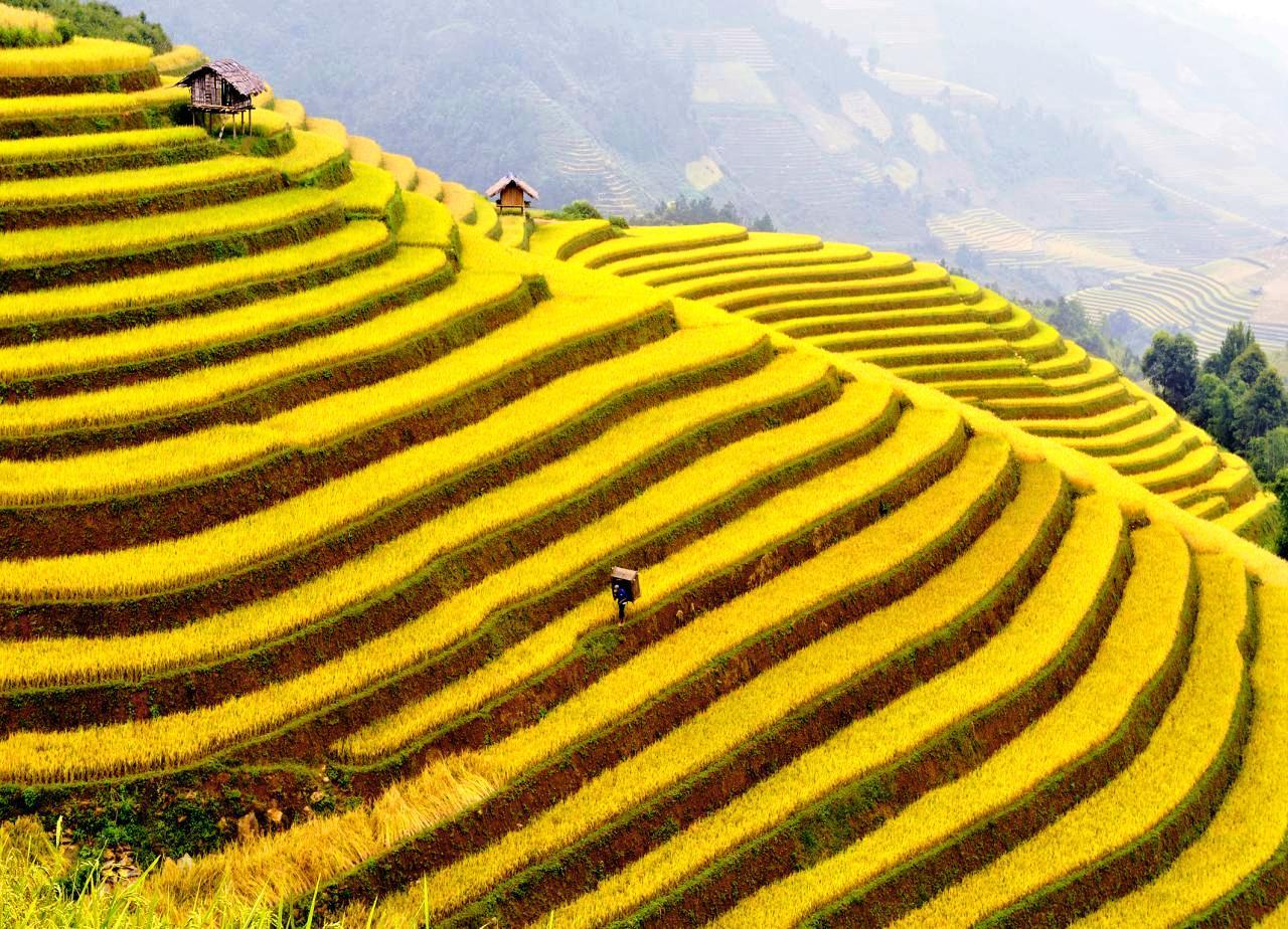 Ruộng lúa bậc thang chín vàng đẹp nhất