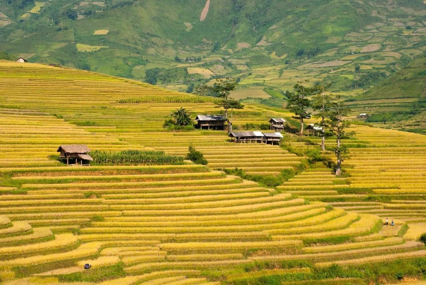 Ruộng lúa bậc thang chín vàng đẹp