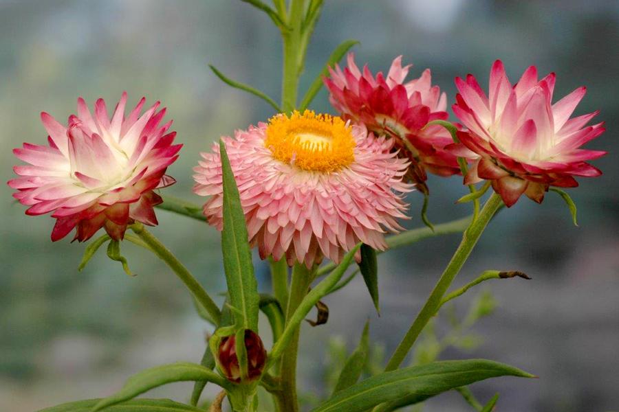 Ảnh bông hoa bất tử đẹp