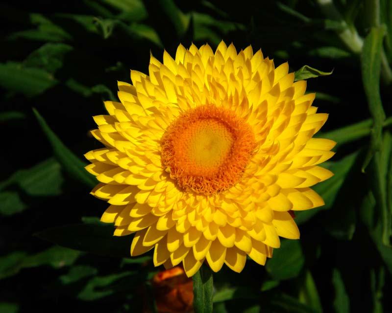 Ảnh bông hoa bất tử nở căng tròn