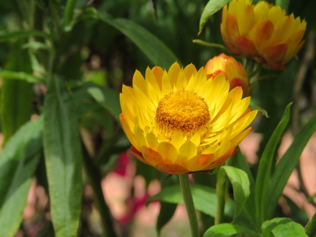 Ảnh hoa bất tử đẹp nhất
