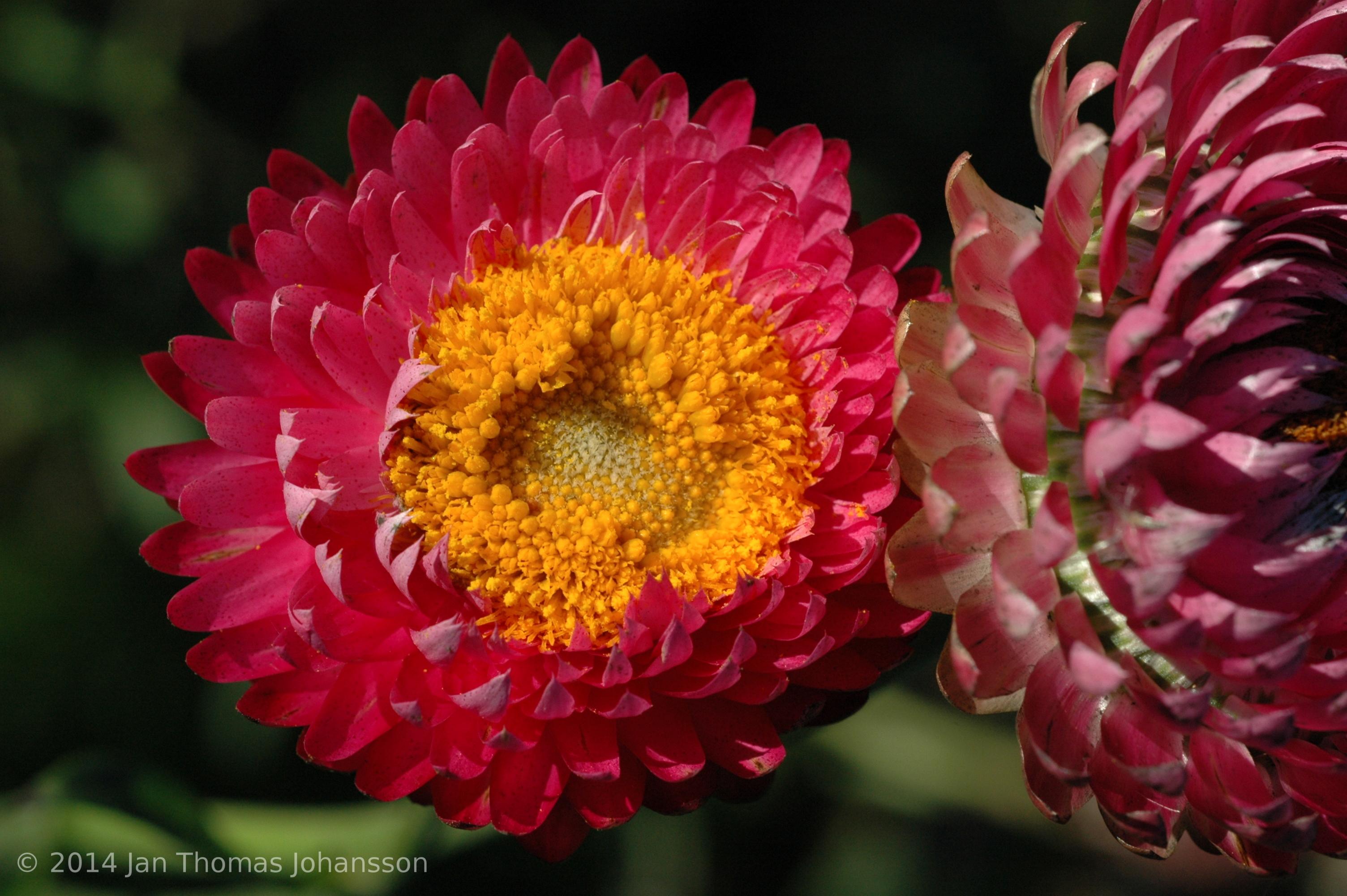Ảnh hoa bất tử hé nở đẹp nhất