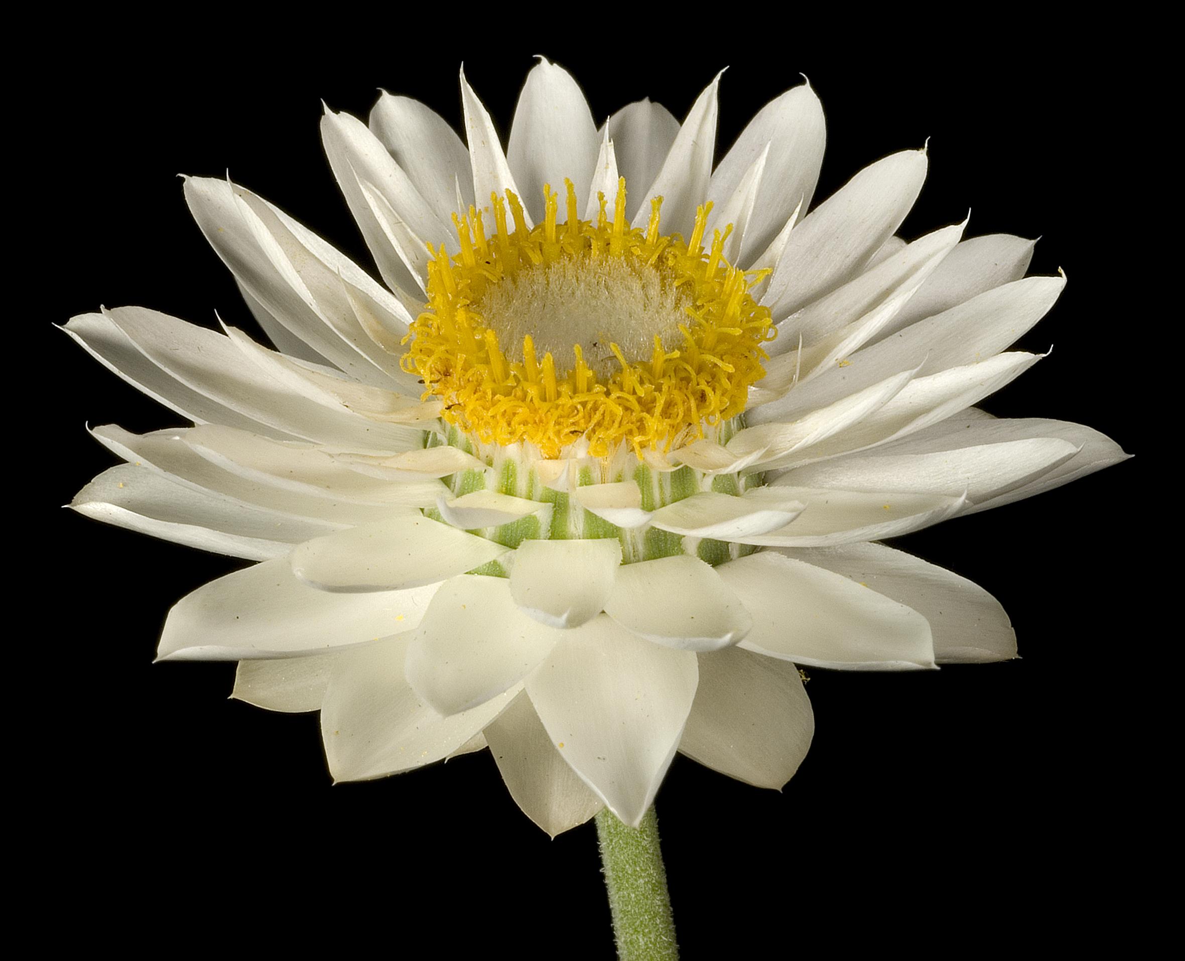 Ảnh hoa bất tử màu trắng nở đẹp nhất