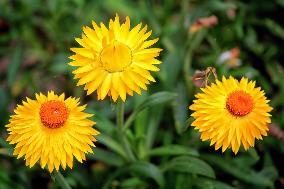 Ảnh hoa bất tử màu vàng đẹp