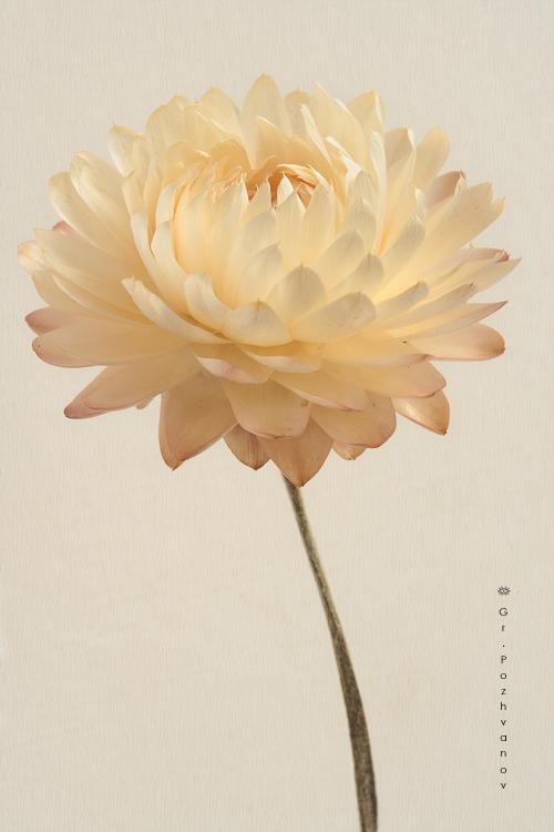 Ảnh hoa cúc bất tử đẹp nhaats thế giới