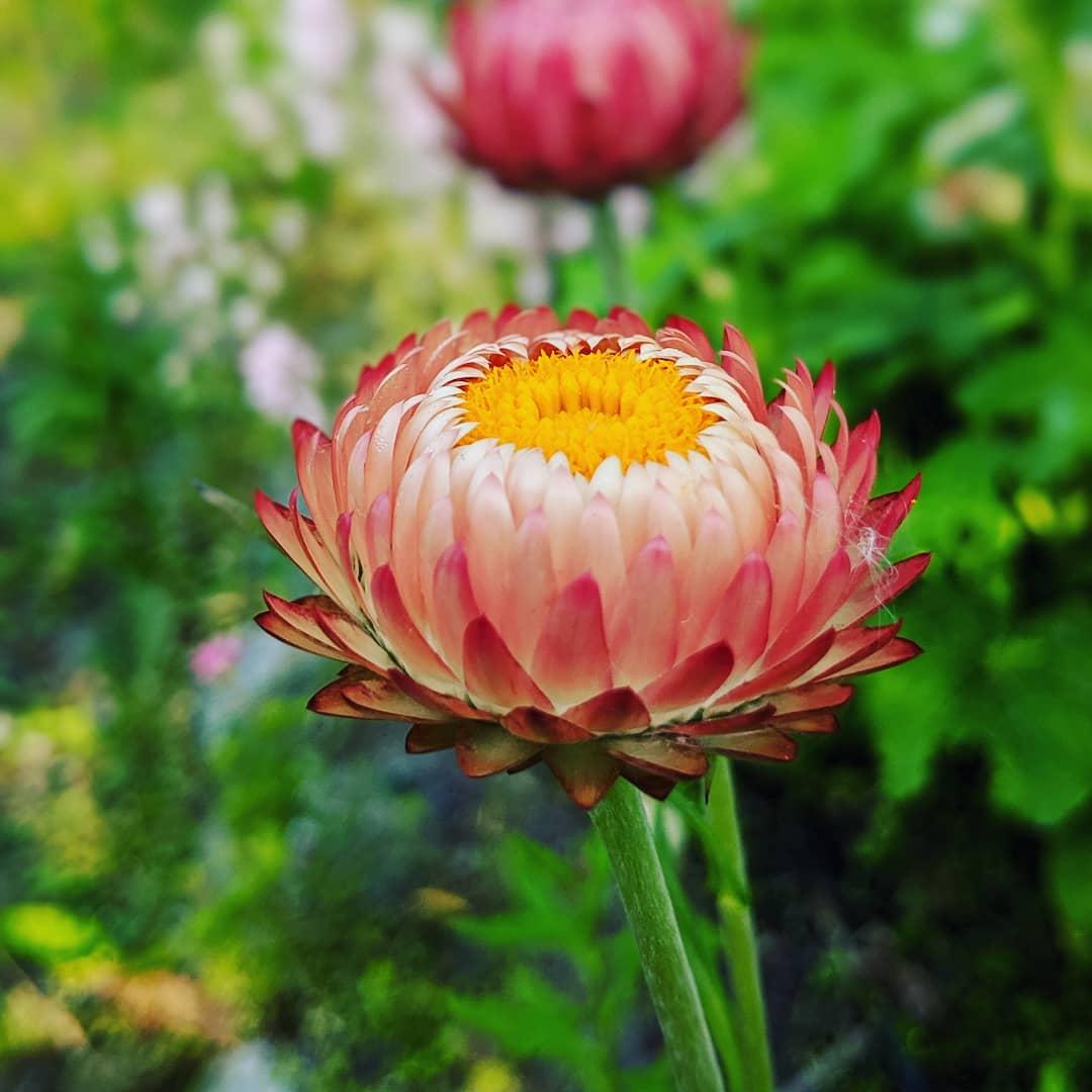 Ảnh hoa cúc bất tử đẹp nhất