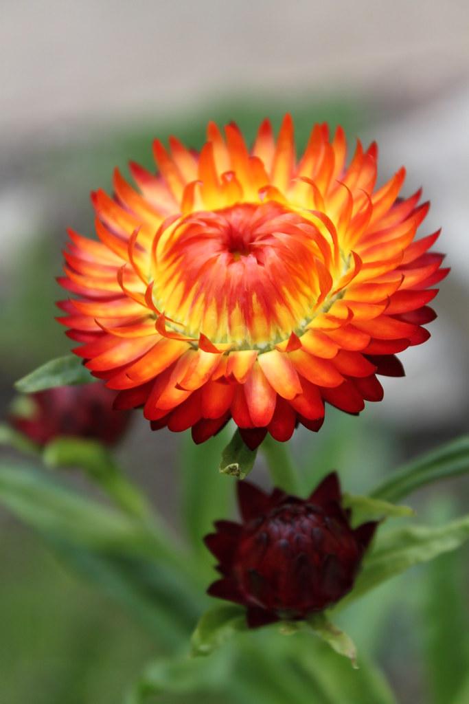 Ảnh hoa cúc bất tử đẹp