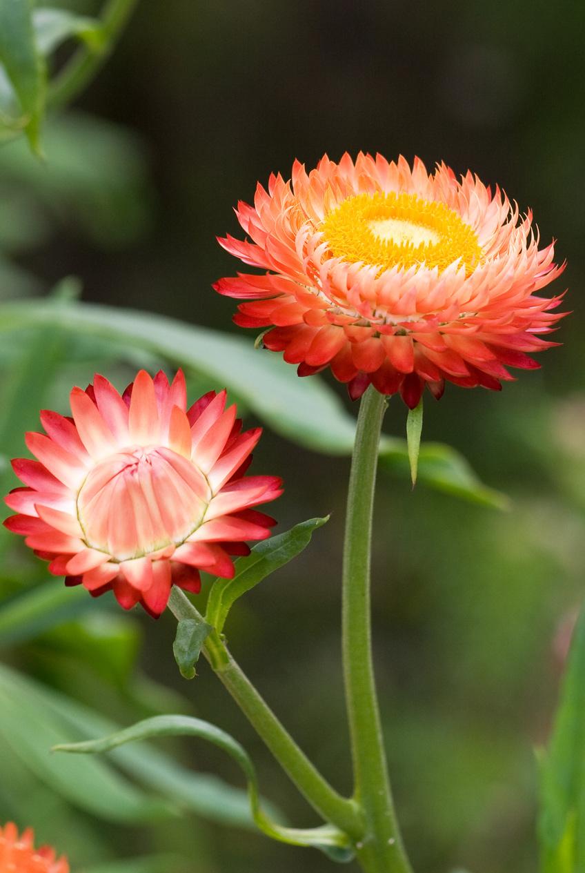 Ảnh hoa cúc bất tử màu cam đẹp