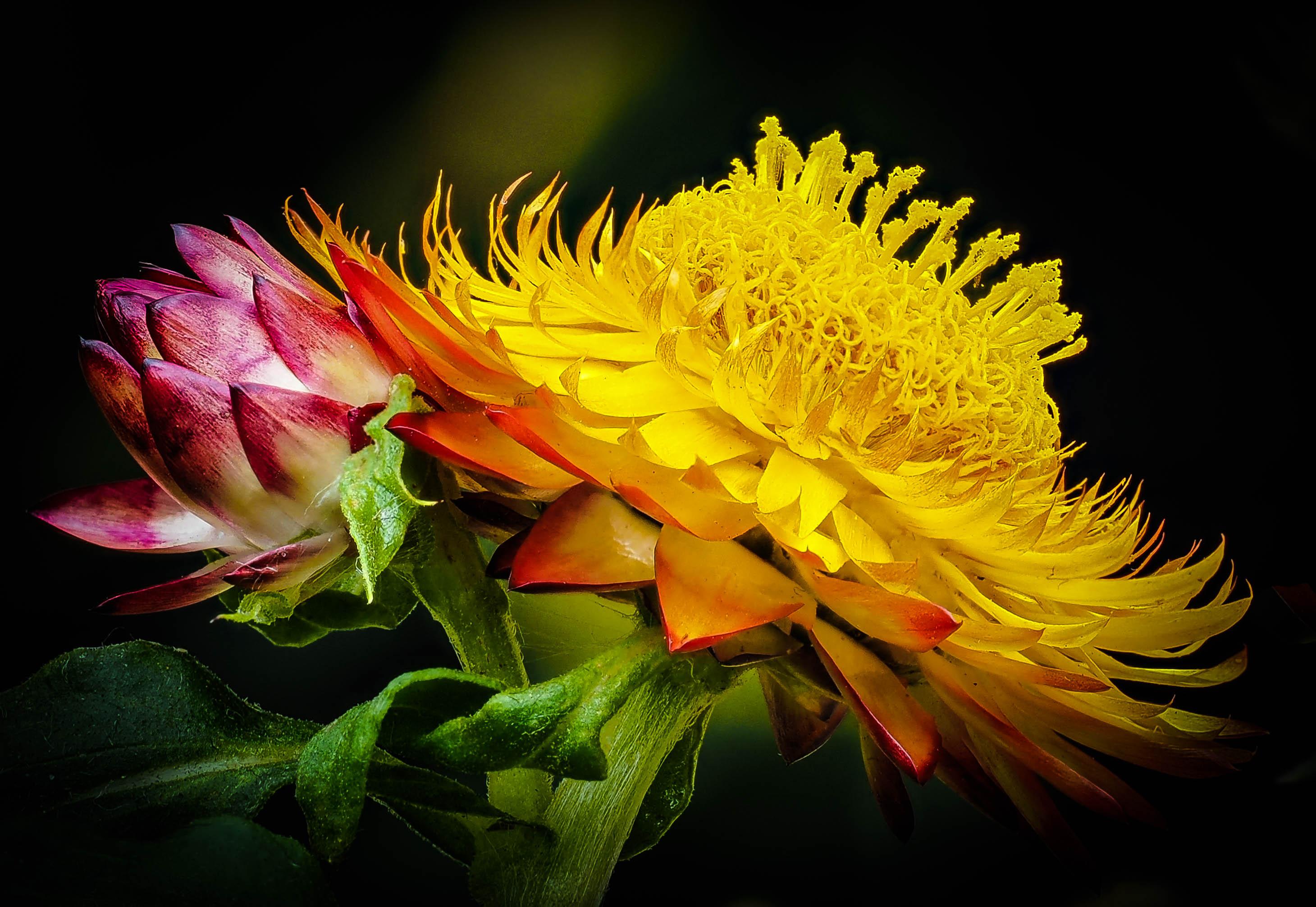 Ảnh hoa cúc bất tử màu vàng nở đẹp