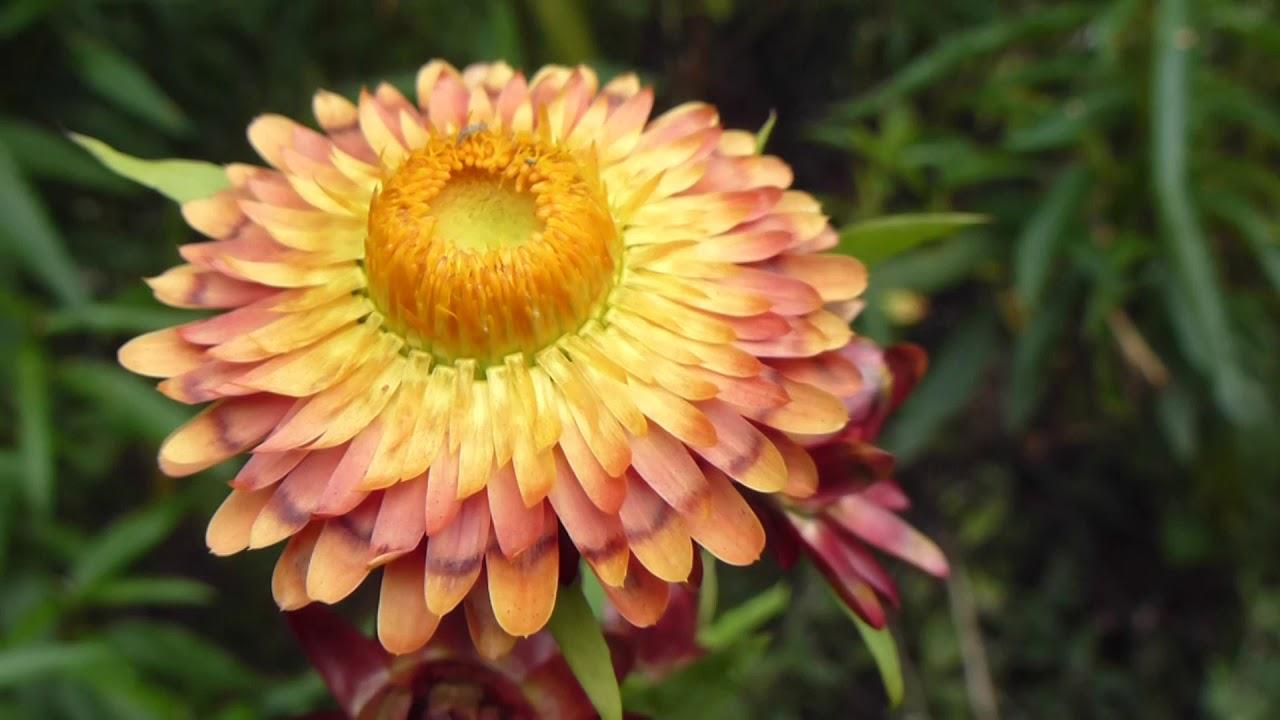 Ảnh hoa cúc bất tử nở đẹp nhất