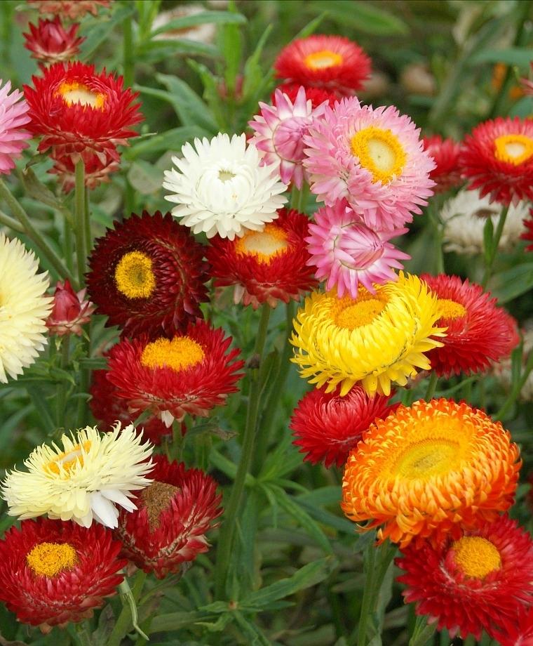 Ảnh vườn hoa bất tử đẹp