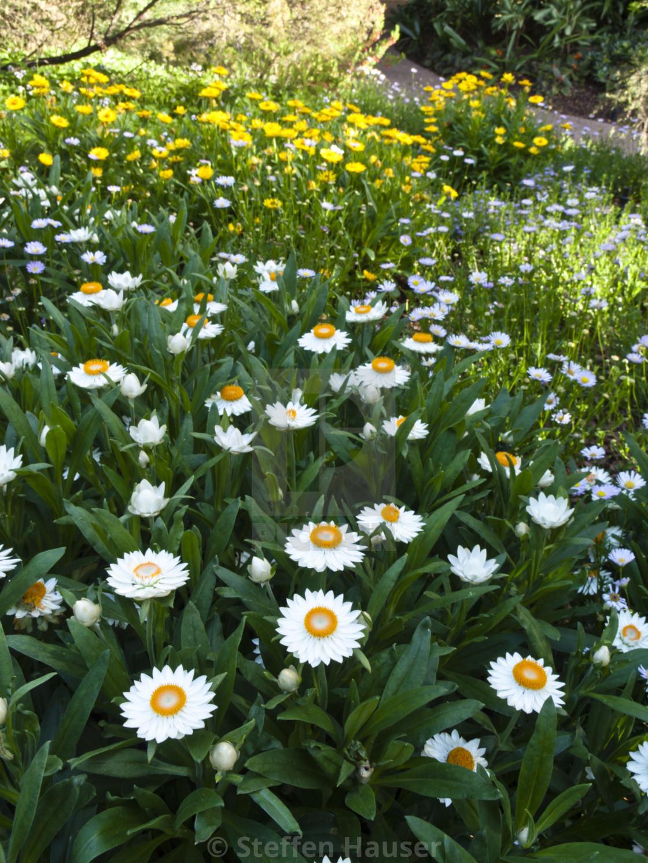 Ảnh vườn hoa bất tử màu trắng