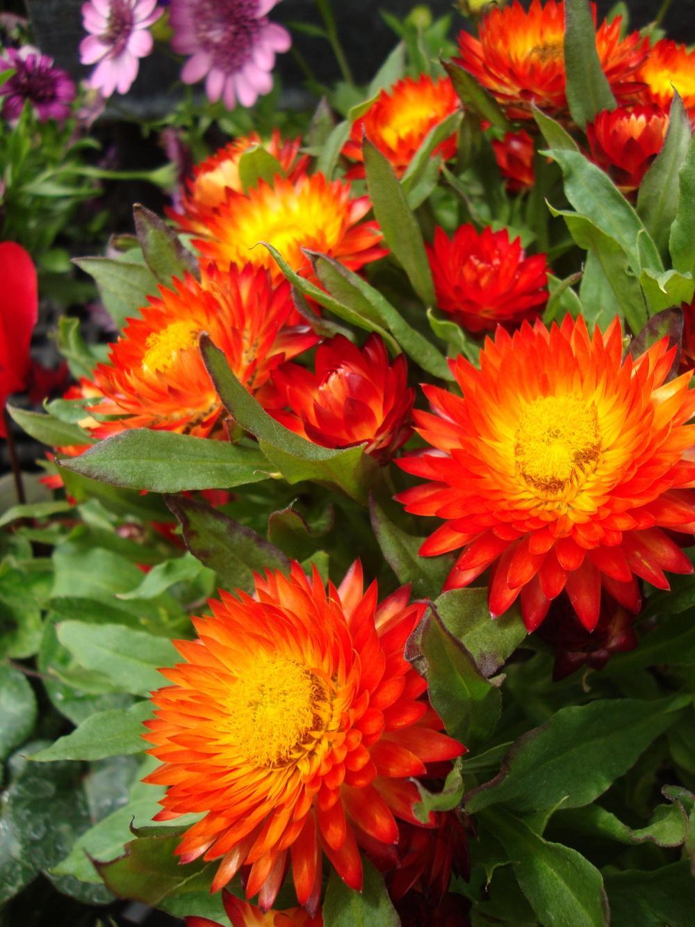 Ảnh vườn hoa bất tử nở đẹp