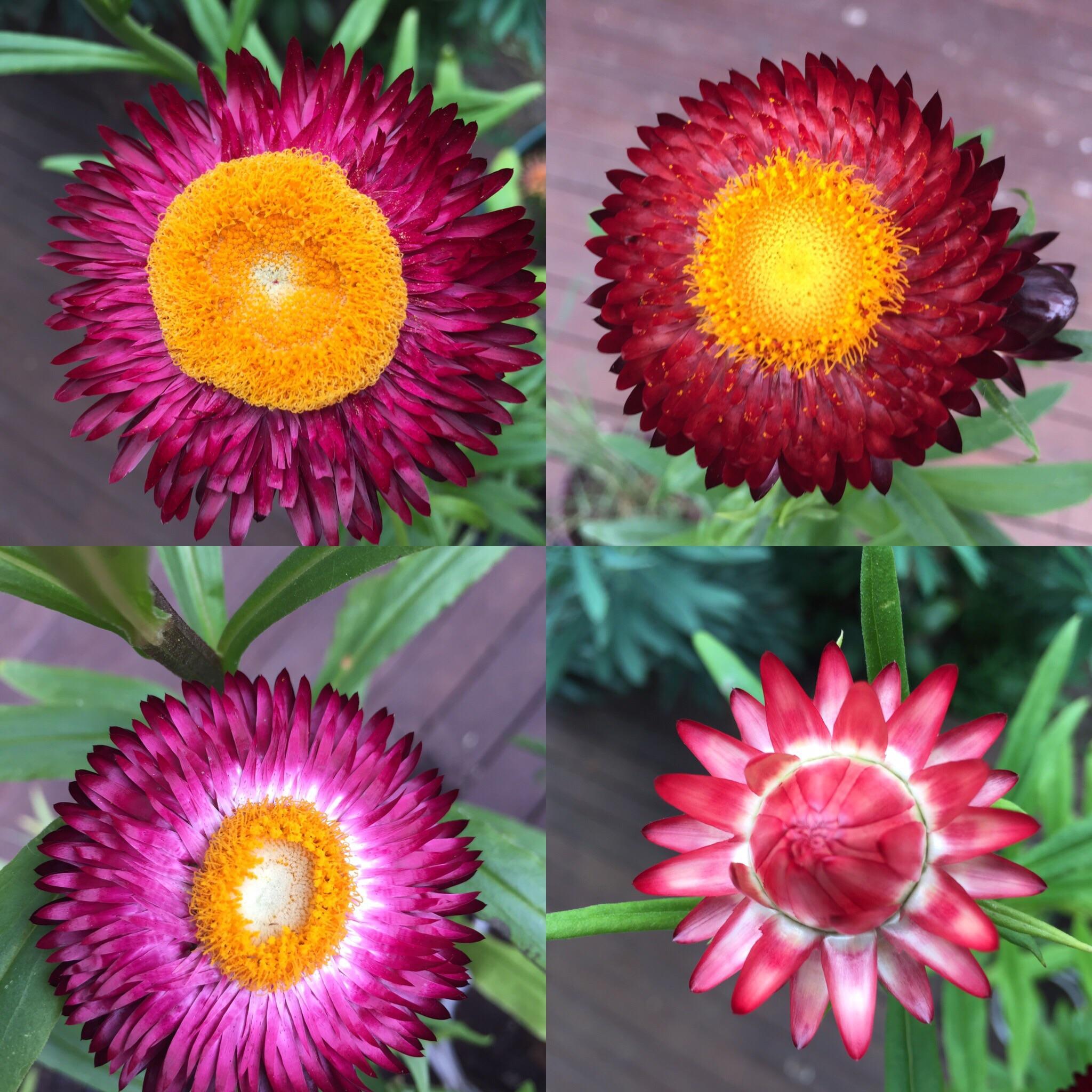 Hình ảnh bông hoa cúc bất tử nở
