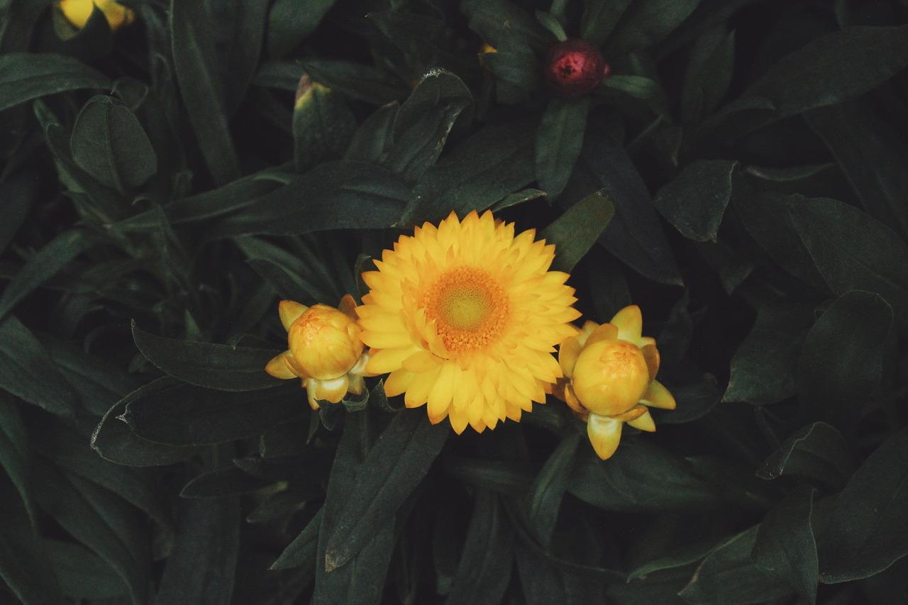 Hình ảnh bông hoa cúc bất tử vàng nở đẹp