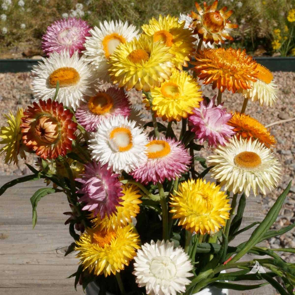 Hình ảnh hoa bất tử đẹp nhất