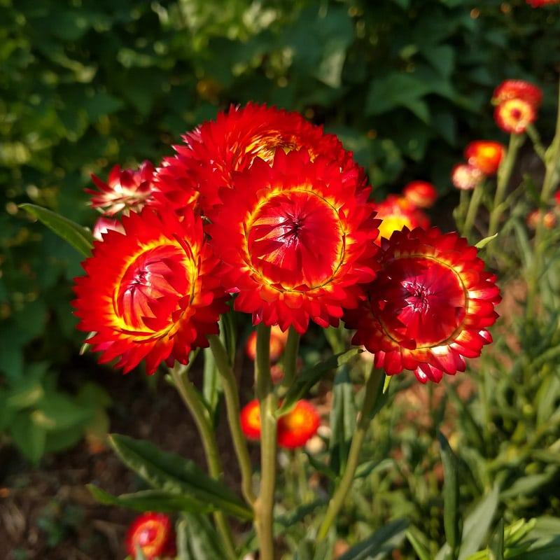 Hình ảnh hoa bất tử màu đỏ đẹp
