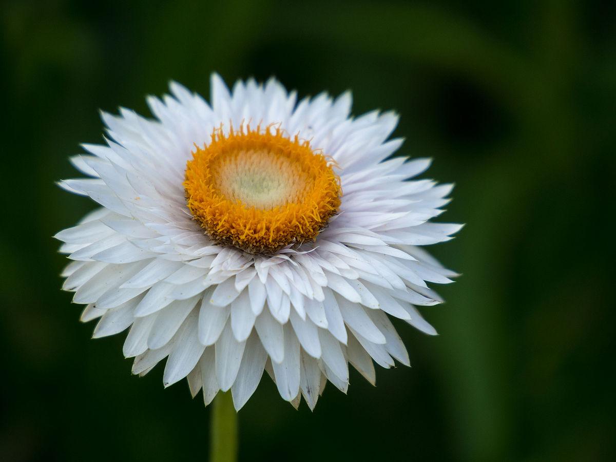 Hình ảnh hoa bất tử