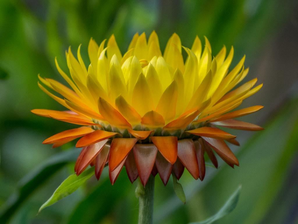 Hình ảnh hoa cúc bất tử đẹp nhất