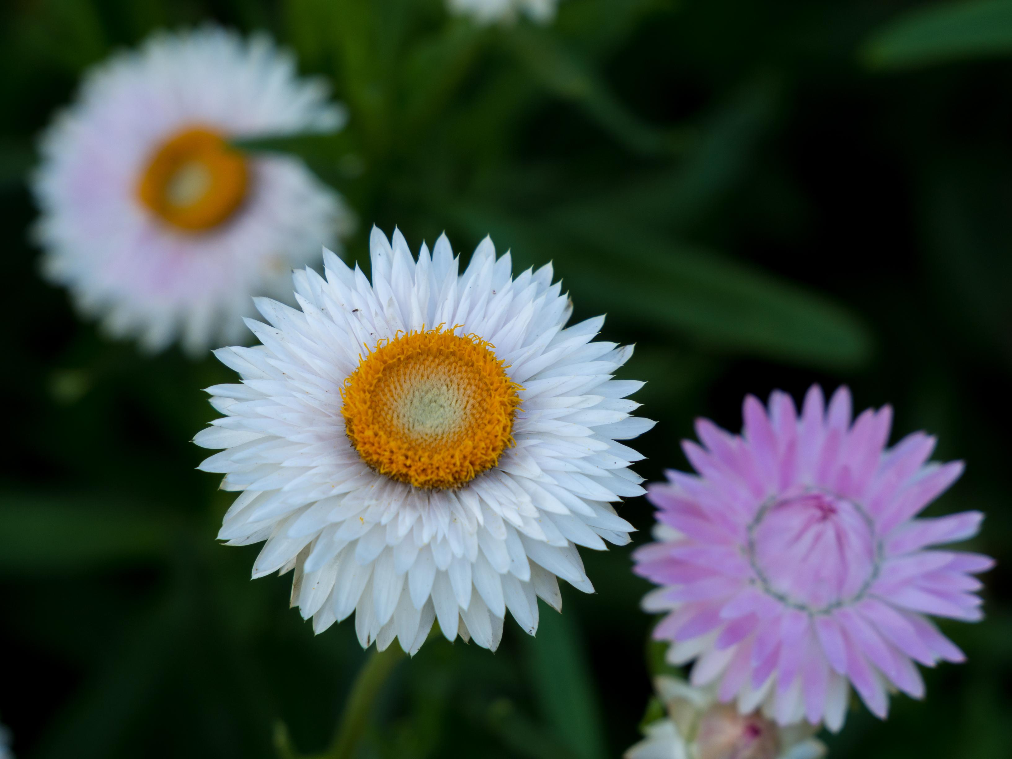 Hình ảnh hoa cúc bất tử màu trắng nở đẹp nhất
