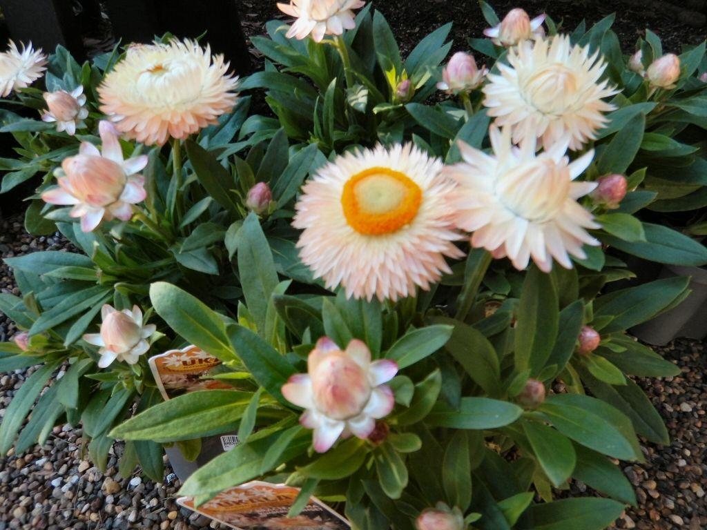 Hình ảnh hoa cúc bất tử trắng đẹp nhất