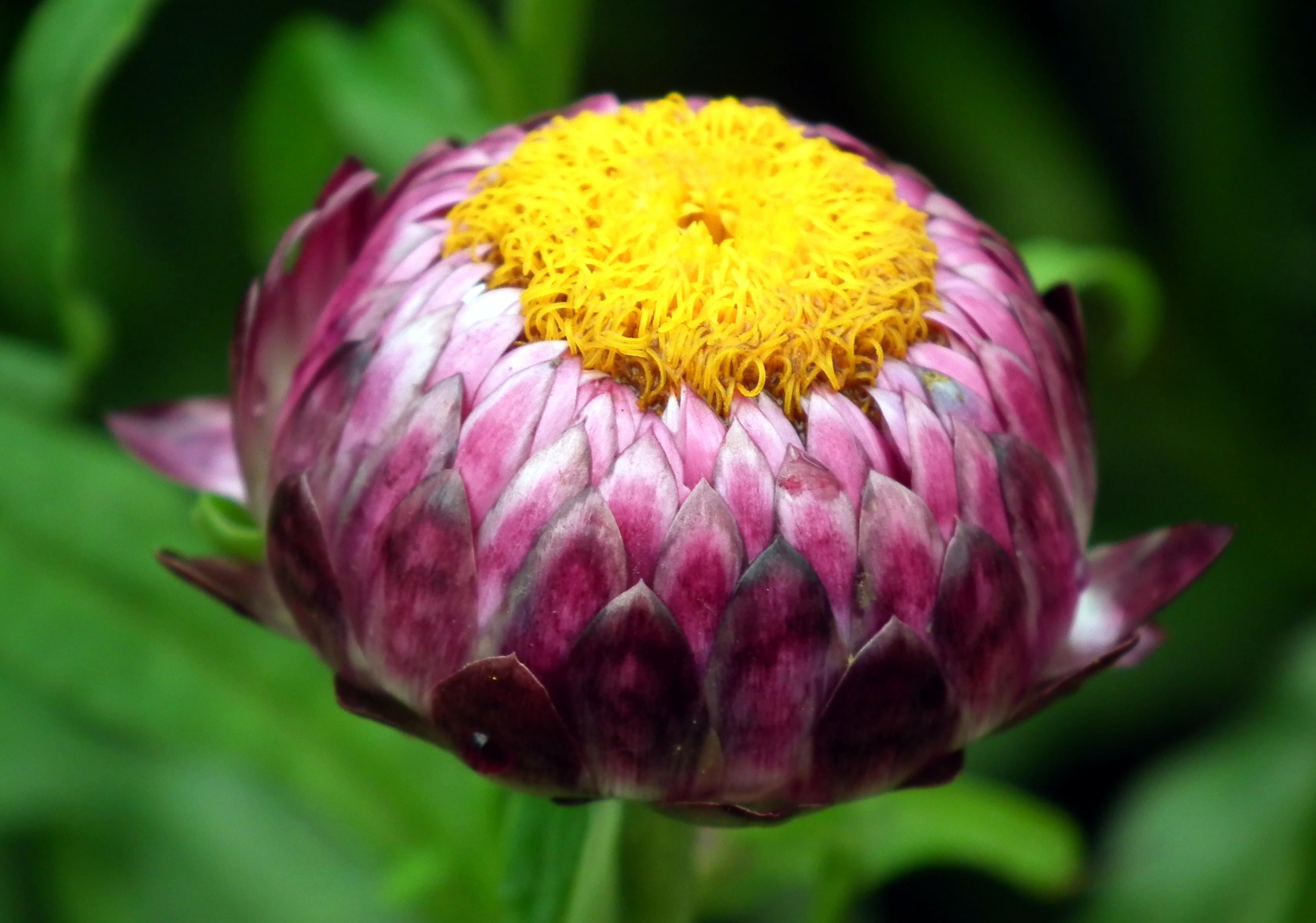 Hình ảnh nụ hoa bất tử