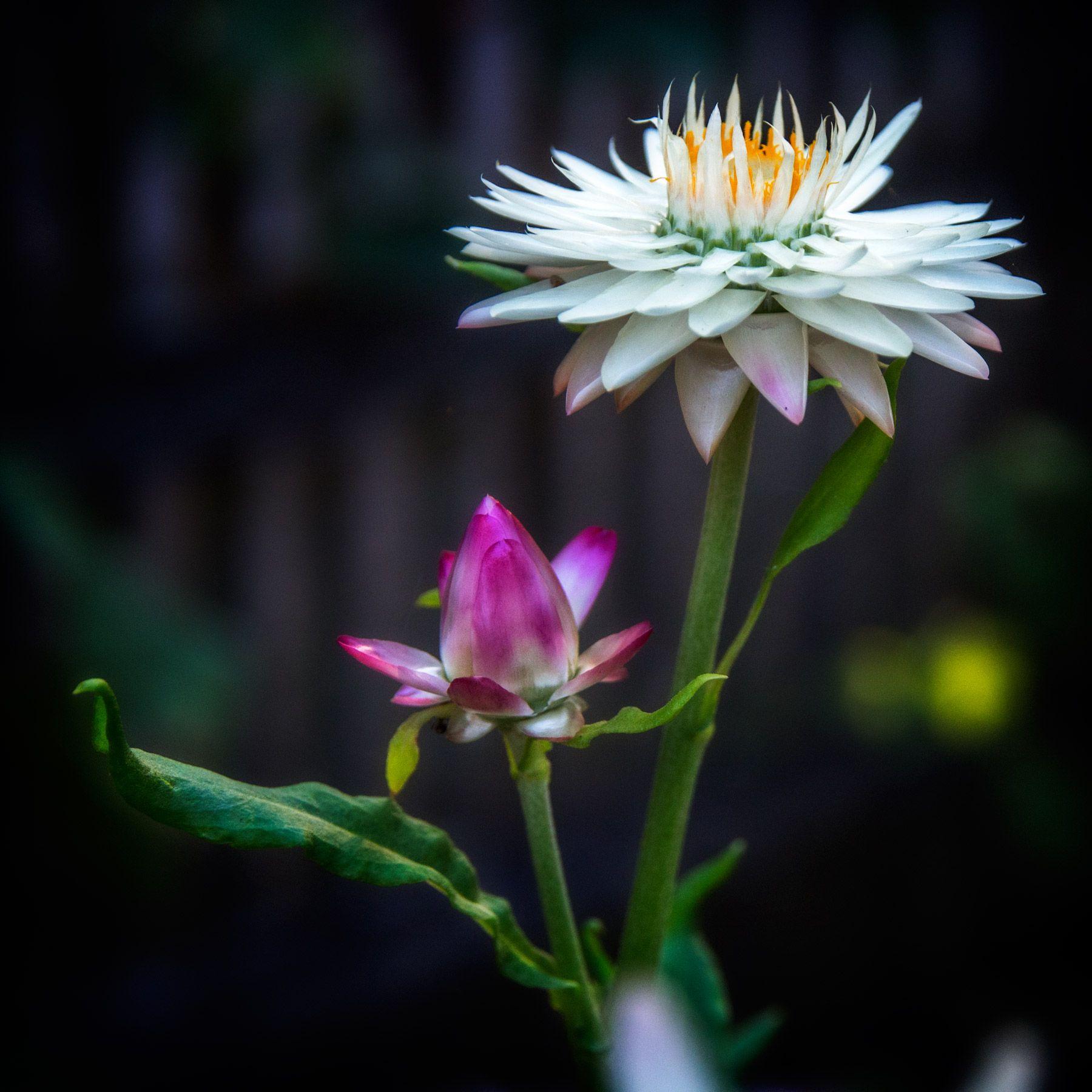 Hoa bất tử trắng đẹp nhất