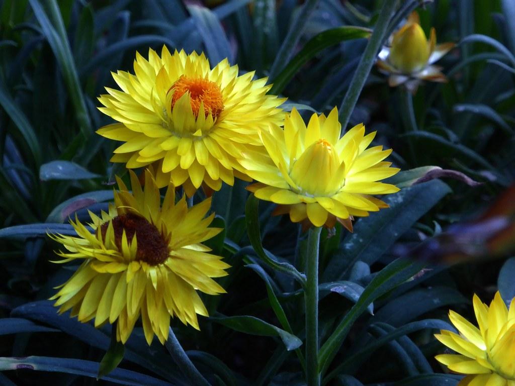 Hoa cúc bất tử đẹp