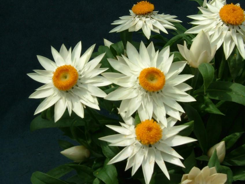 Hoa cúc bất tử màu trắng đẹp nhất