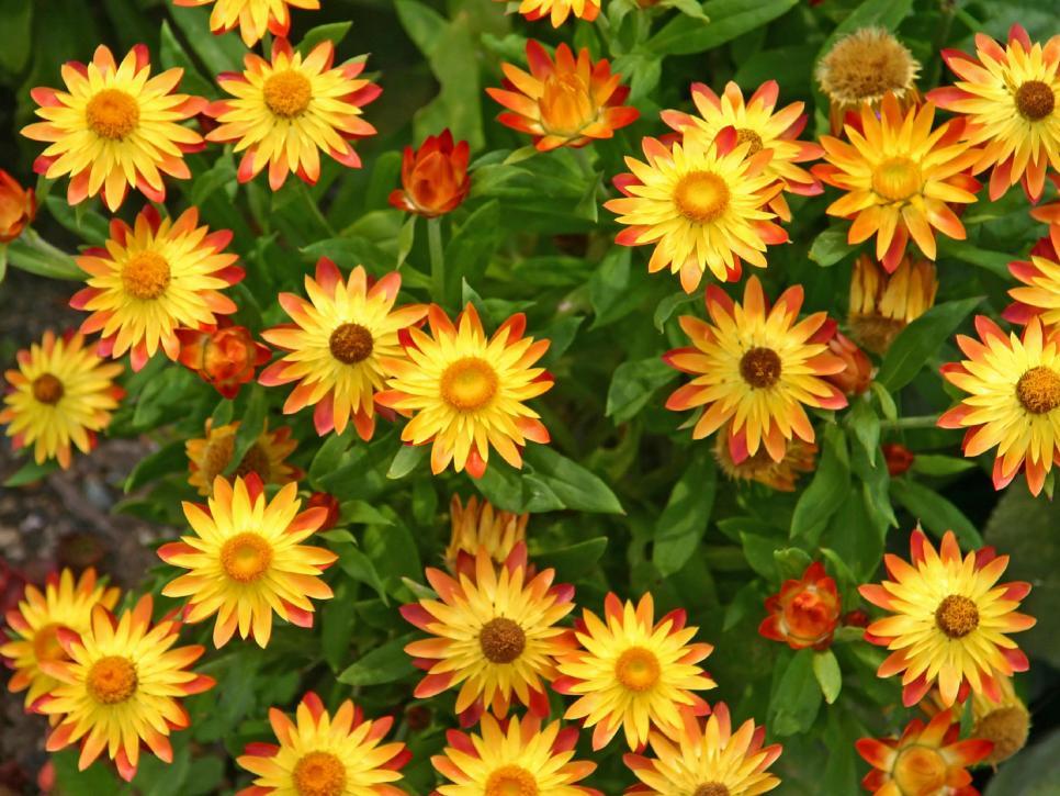 Những hình ảnh hoa bất tử đẹp nhất