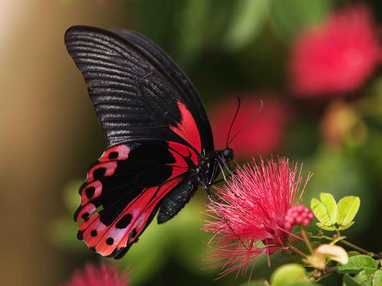 Ảnh bướm đen đỏ cực kỳ đẹp và ma mị