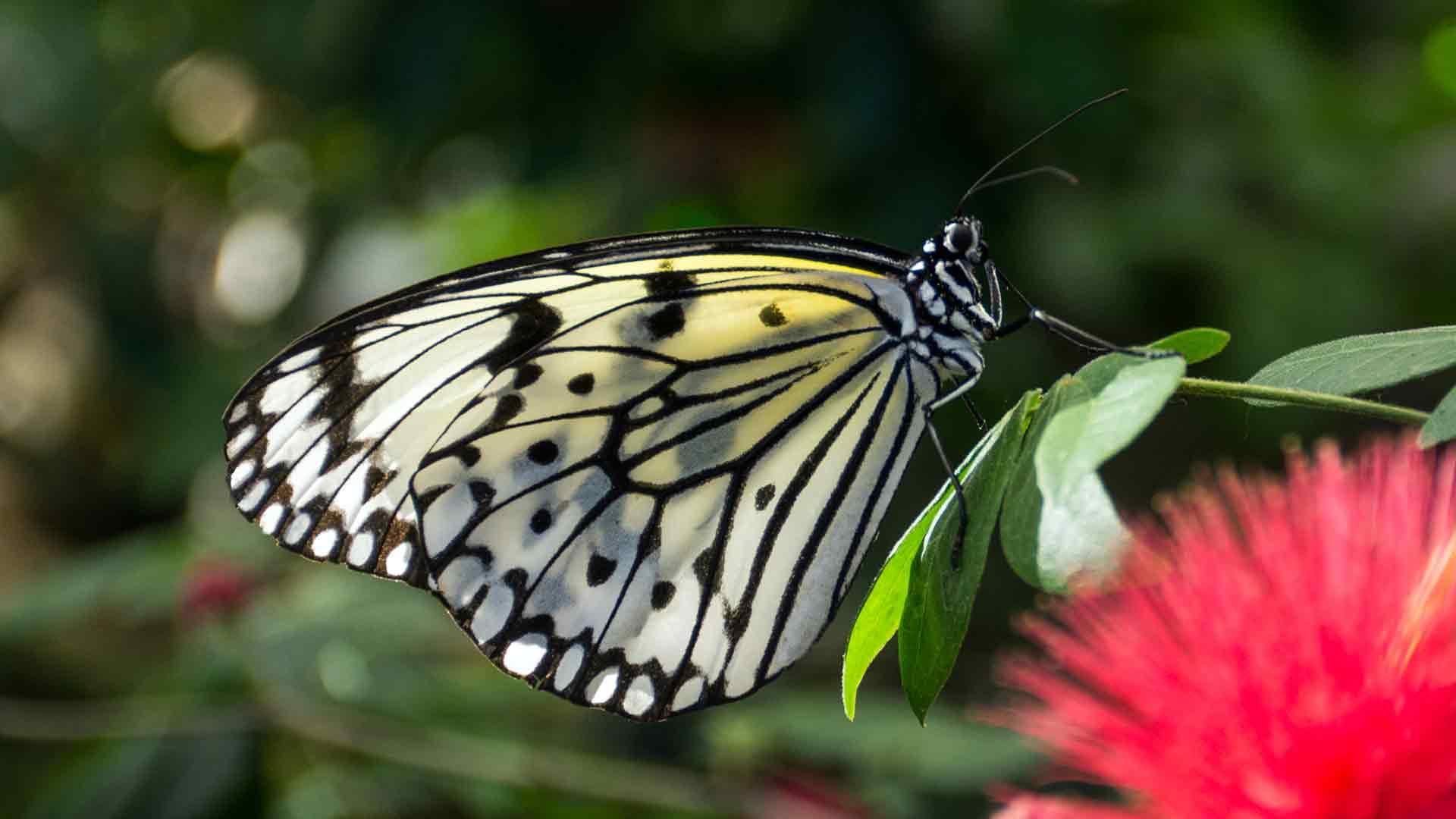 Ảnh bướm trắng cực đẹp