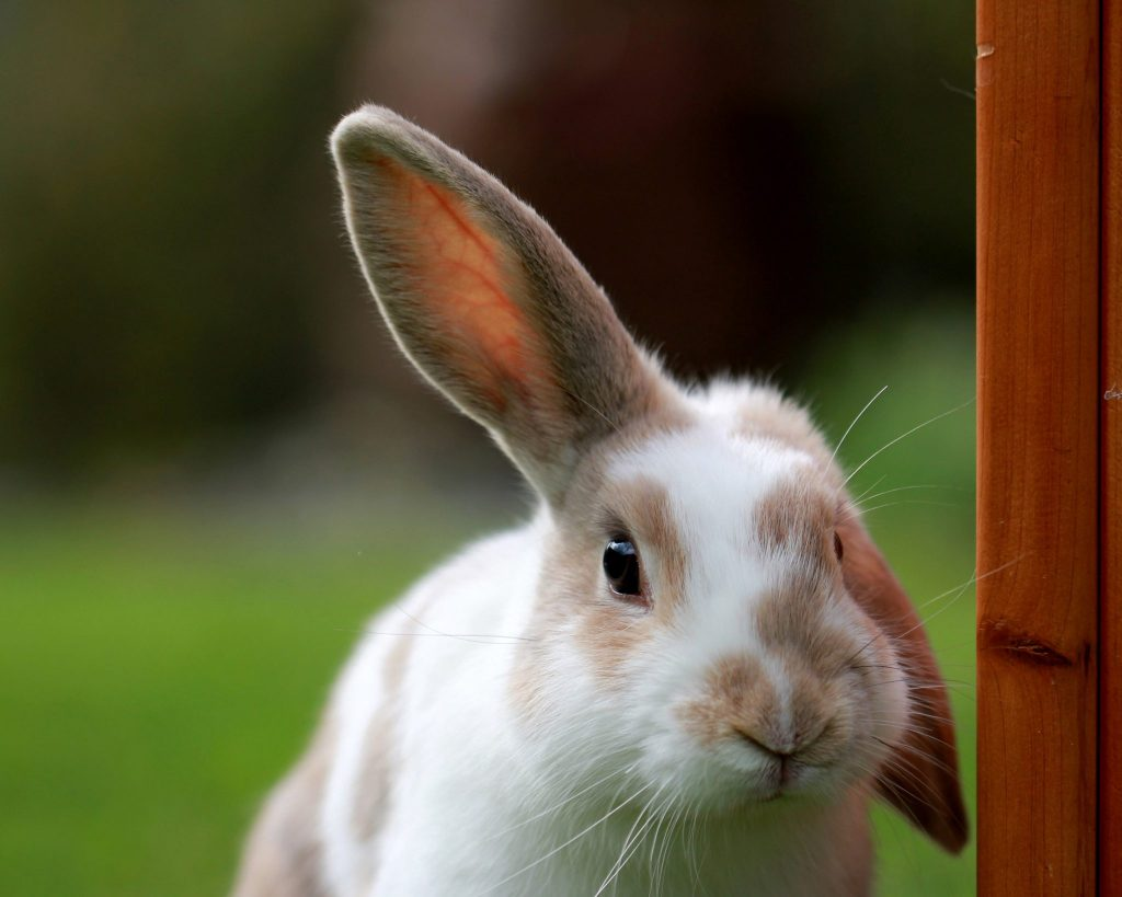 Ảnh chú thỏ đáng yêu tai cụp tai thẳng rất đẹp