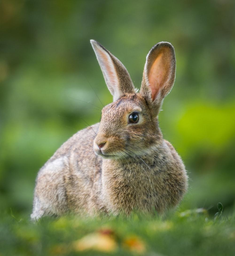 Ảnh hình chú thỏ lông xám rất đẹp