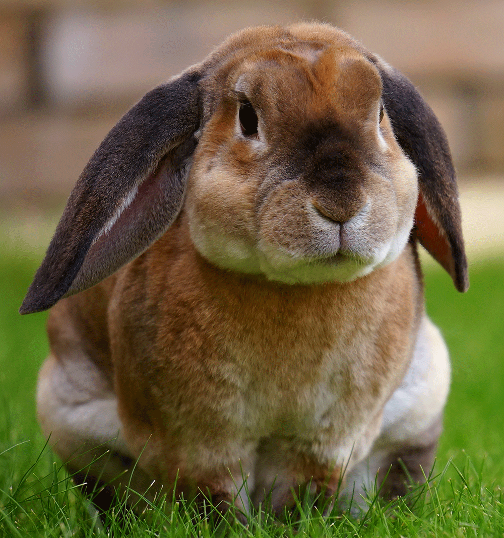 Bé thỏ nâu vàng cụp tai đáng yêu