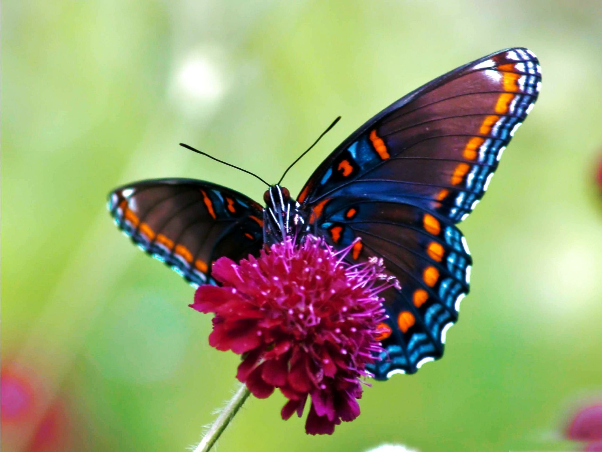 Cánh bướm cam xanh đỏ tía rất đẹp
