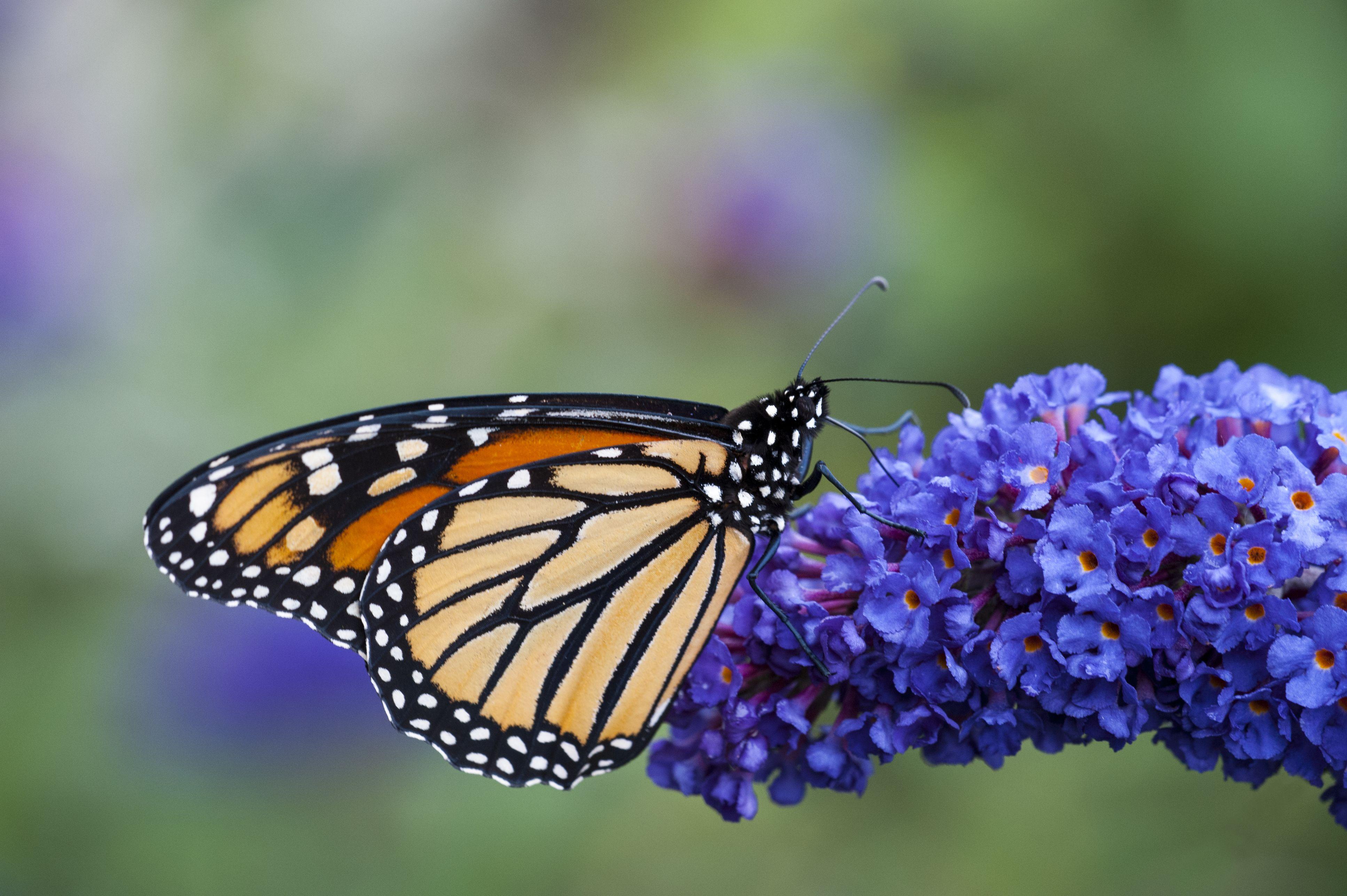 Cánh bướm đậu trên khóm hoa tím