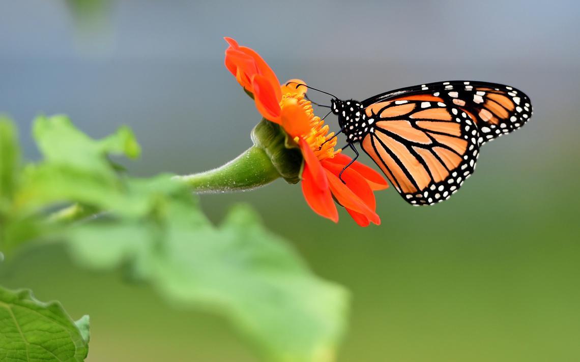 Cánh bướm khép lại đậu trên đóa hoa thược dược